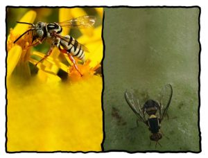 bee_fly_separated_border